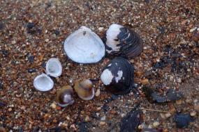 Fresh water mussel shells