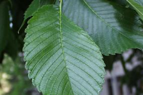 close up of a green american elm leaf