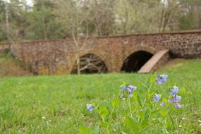 Bluebell flowers in front of stone bridge