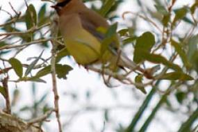 close up of a cedar waxwing bird