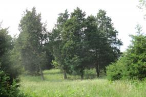 A stand of cedar trees in a field