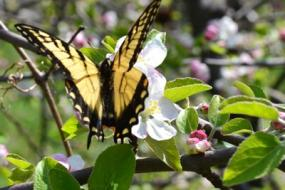 Butterfly in apple blossom