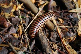 Millipede on the ground