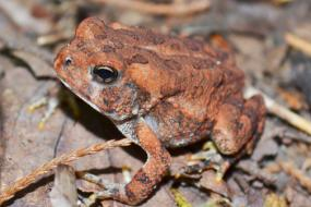 Red Southern Toad