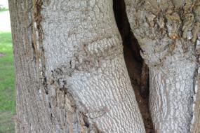 Odd scar on tree