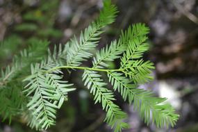 Needles on a grand bald cypress
