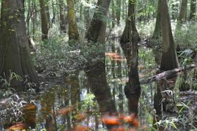 Tupelo trees and cypress knees growing out of the water