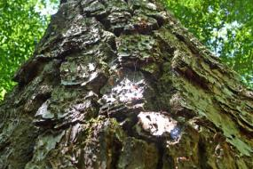 View of up the trunk of a loblolly pine