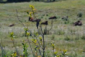 Bird eating berries with bison in the background