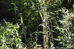 Bamboo growing along creek