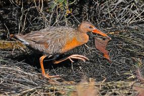 Clapper Rail stalking through the wetlands
