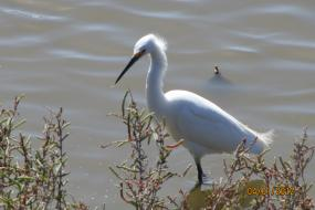 Snowy Egret wading in the shallows