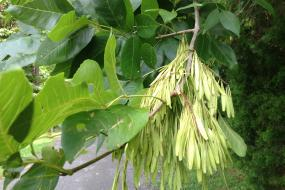 Bundle of seed pods hanging from a tree