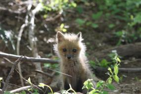 Baby fox in woods