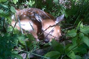 Fawn laying in underbrush
