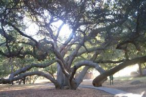 Twisting limbs of a Live Oak