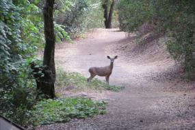 A deer standing in the trail