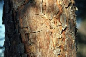 Scotch pine bark