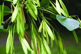 Green Ash seed pod