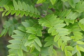 Honey locust leaves