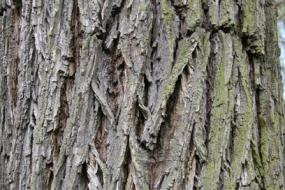 Kentucky coffee tree bark