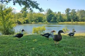 Ducks by the pond