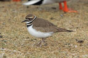 Killdeer on the shore
