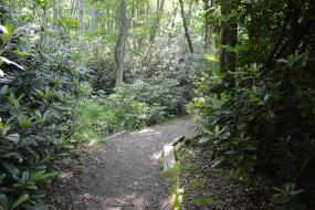 Trail through rhododendron
