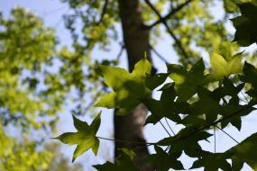 Sweet Gum tree leaves