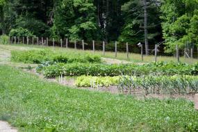 Rows of crops in a garden