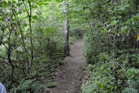 Dirt path through rhododendrons