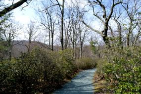Trail lined with mountain laurel