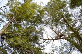 Tall trees overhead