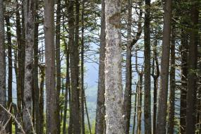 Dense stand of fir and spruce trees