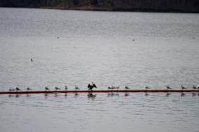 Water birds perched on a pipe in the lake