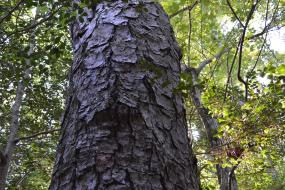 Rough bark of a towering pine tree