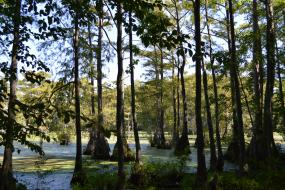 Bald cypress trees growing out of the swamp
