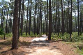 Sandy path through pines