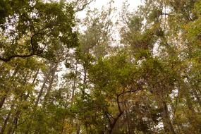 Canopy of pine and rhododendron