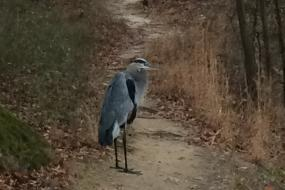 Great Blue Heron standing on trail