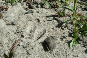 Deer track in sand
