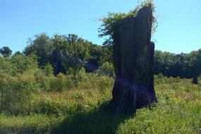 Large tree snag