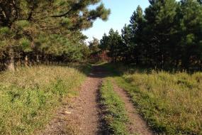 Trail through pine trees