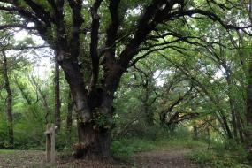 Large branching oak tree