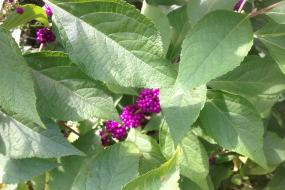 Purple berries on leafy plant