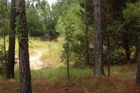 Trail through pine forest