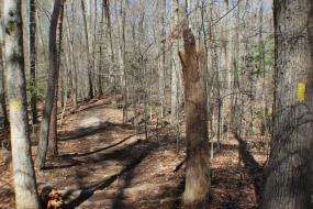 Trail passing between some trees and a snag
