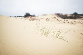 Grass growing on the dune