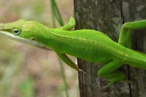 Green Anole Lizard