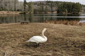 Swan near Bass Lake